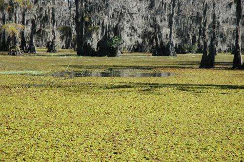 AgriLife project weevils damaging invasive giant salvinia at Caddo Lake