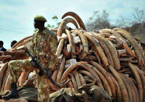 A Kenya Wildlife Services ranger stands guard in front of an illegal ivory stockpile in Nairobi on July 20, 2011