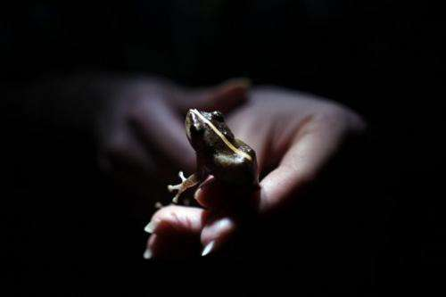 Alarm over vanishing frogs in the Caribbean