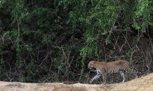 A leopard in Sri Lanka's Yala National Park southwest of Colombo on September 16, 2012