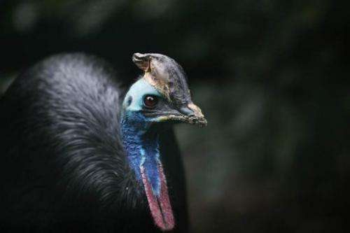 A male Southern Cassowary is pictured in its enclosure at a zoo in Frankfurt, Germany on September 9, 2009
