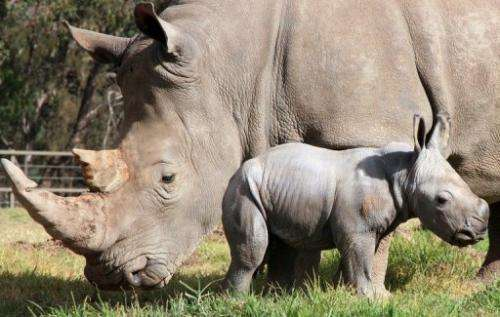 A male white rhinoceros calf at Taronga Western Plains Zoo in Sydney is shown May 14, 2013