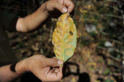 A man shows a leaf of coffee plant affected by Roya at San Victor farm in Guatemala on January 17, 2013