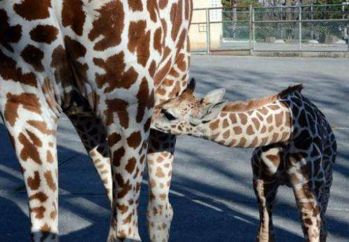 A mother giraffe suckle her one-month-old baby at Tokyo's Tama Zoo on February 9, 2013