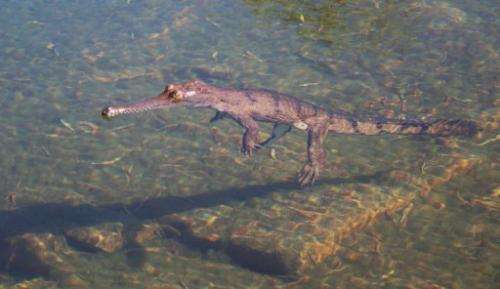 An adult male dwarf crocodile is pictured in the Bullo River in Australia's Northern Territory in August 2006