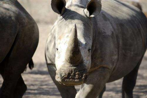 An adult white rhino looks on at the Entabeni Safari Conservancy, Limpopo, north east of Johannesburg on July 31, 2012