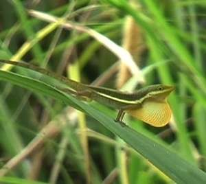 Anatomy determines how lizards attract partners and repel rivals