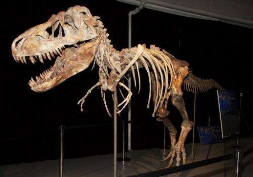 A nearly complete Tyrannosaurus bataar dinosaur skeleton looted from the Gobi Desert in Mongolia