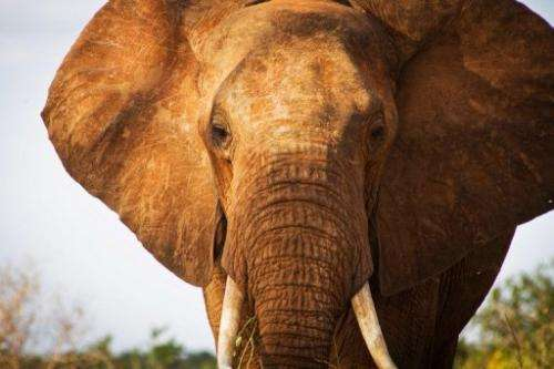 An elephant in Tsavo East National Park in southern Kenya on January 31, 2013