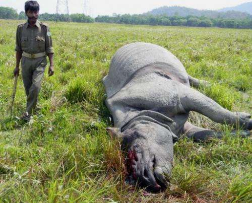 An Indian forest official in Nagon on March 23, 2013, walks past the body of a rhino killed by poachers