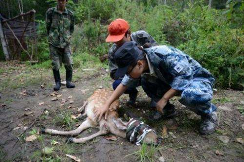 An injured sika deer, which will be served as food for Amur tigers, is being treated by WWF staff on August 26, 2013