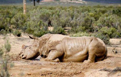 An injured white rhino after poachers sawed off its horn on South Africa's Aquila Game Reserve on August 22, 2011