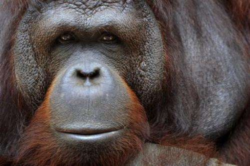 An obese orangutan has been put on a diet by Malaysian authorities after two decades of gorging on junk food