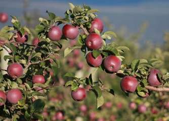 Anti-allergy genetically modified apples
