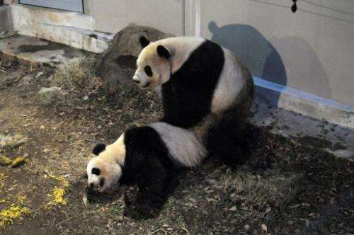 A pair of giant pandas, Ri Ri (L) and Shin Shin (R), are seen mating at Tokyo's Ueno Zoo, on March 11, 2013