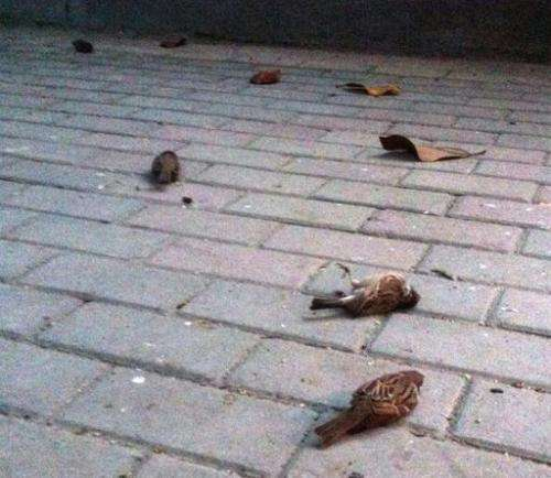 "A photo from weibo user ""Mao Lanlanlan"" on April 15, shows dead sparrows on the ground in Nanjing, eastern China"