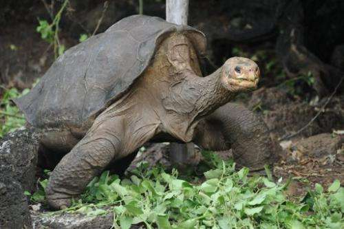 A Pinta Island Tortoise walks around Galapagos National Park's breeding center in Puerto Ayora on April 19, 2012