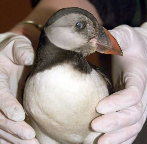 A puffin at a bird clinic in Lorient, France, on February 20, 2000