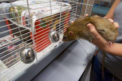A rat smells a tea infuser at the Dutch police department in Rotterdam on September 18, 2013