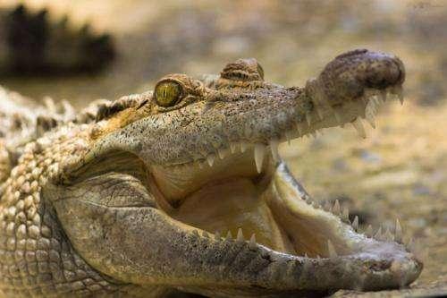 Are crocodiles secret fruit-lovers?