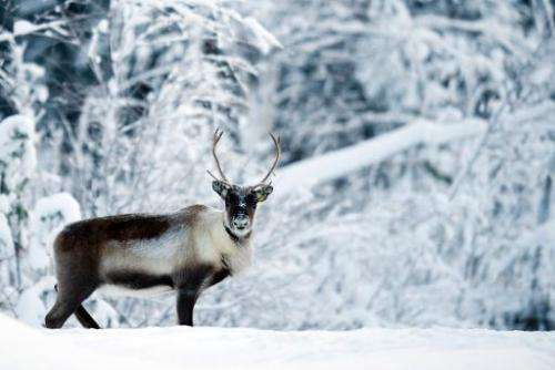 A reindeer near the Swedish village of Vuollerim, Lapland province, west of the coastal city of Luleaa