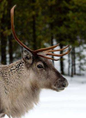 A reindeer on the E10 hi