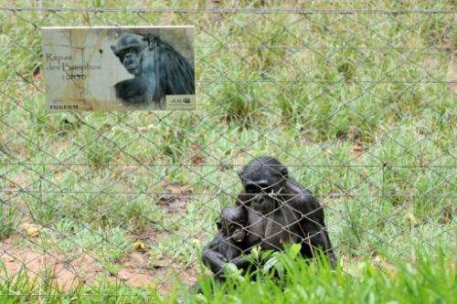 "A rescued bonobo holds a baby on March 6, 2013 in an enclosure at the ""Lola ya bonobo"" sanctuary, Kinshasa"