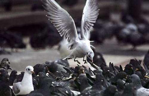 A seagull flies over pigeons, 20 February 2006 in Paris