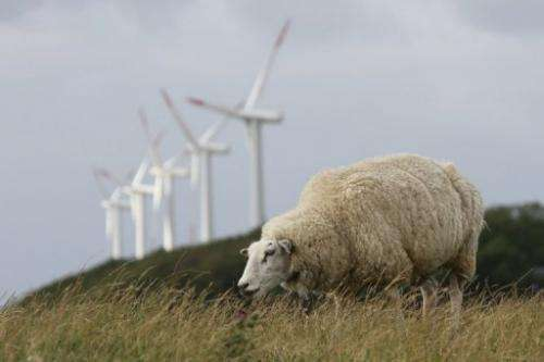 A sheep grazes near wind turbines on Pellworm island, northern Germany, on August 9, 2013