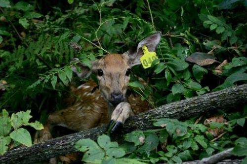 A sika deer, which will be served as food, pictured in the Jilin Wangqing National Nature Reserve on August 26, 2013