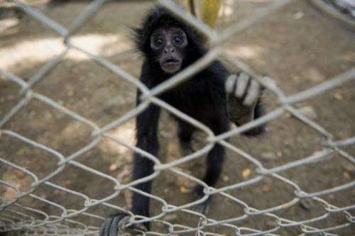 A spider monkey is pictured in its cage at the Villa Lorena animal shelter in Colombia on March 14, 2012