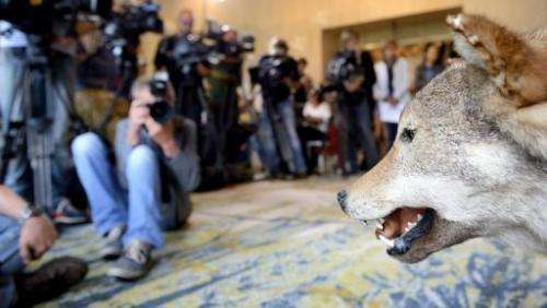 A stuffed wolf is displayed on August 7, 2013 in Naarden, The Netherlands, during a press conference