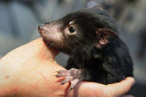 A Tasmanian devil is held by wildlife personnel at Martin Place public square in Sydney on September 7, 2012