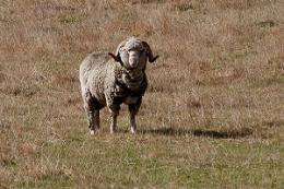 Australian Merino sheep could fare better than expected over dry summers