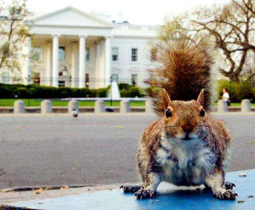 A well fed ground squirrel is seen in Lafayette Park, across from the White House, in Washington, DC, on April 10, 2002
