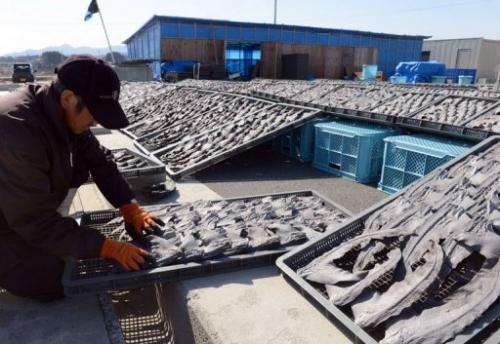 A worker turns over drying shark fins at a processing factory in Kesennuma city, Miyagi prefecture, March 12, 2013