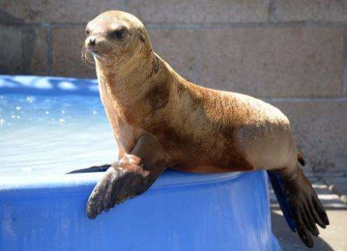 A young sea lion recovers at the Marine Mammal Care Center in San Pedro, California on April 9, 2013