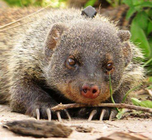 Banded mongooses structure monosyllabic sounds in a similar way to humans