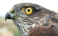 Banned pollutants are still found in sparrowhawks