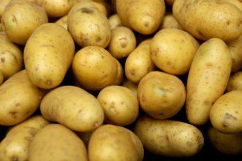 BASF said on January 29, 2013 it will no longer seek European approval of its genetically modified potato products
