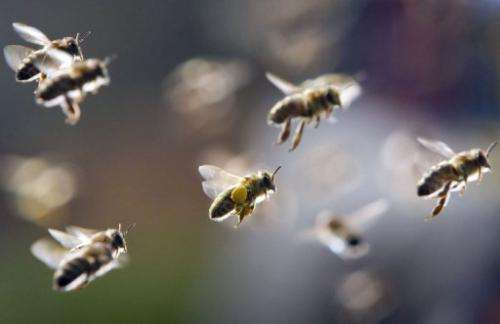 Bees, partly loaded with pollen, return to their hive on March 21, 2011 in Frankfurt, Germany