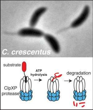 Biochemists identify protease substrates important for bacterial growth and development