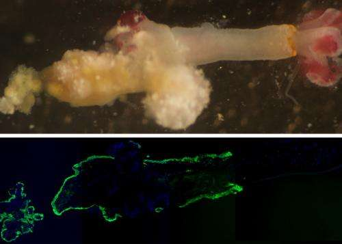 Bizarre bone worms emit acid to feast on whale skeletons