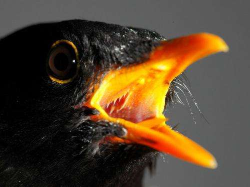 Blackbirds in the spotlight: City birds that experience light at night ready to breed earlier than their rural cousins
