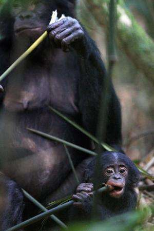 Bonobos stay young longer
