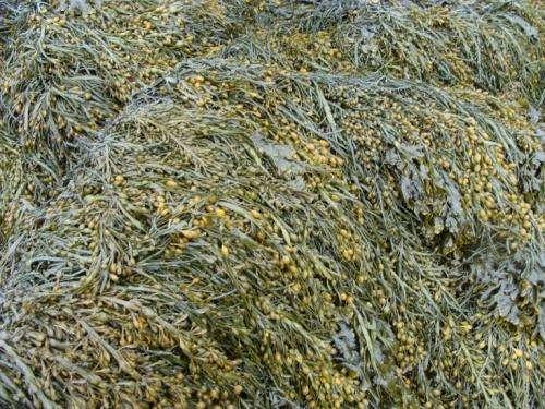 Brown algae reveal antioxidant production secrets
