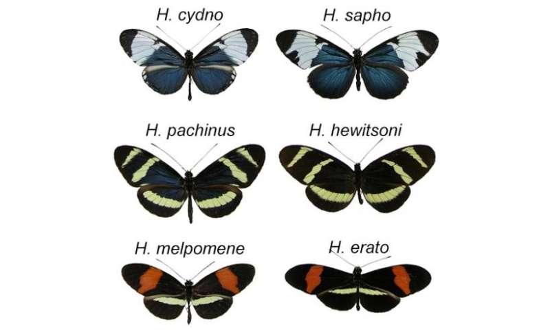 Butterflies show origin of species as an evolutionary process, not a single event