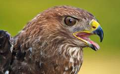 Buzzards less likely than humans to kill pheasants