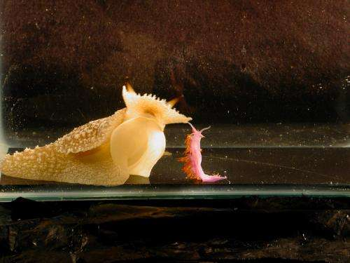 By trying it all, predatory sea slug learns what not to eat