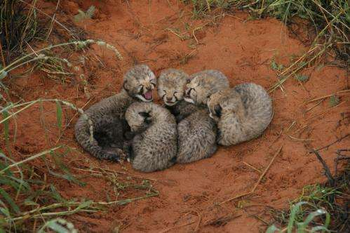 Can big cats co-exist? Study challenges lion threat to cheetah cubs